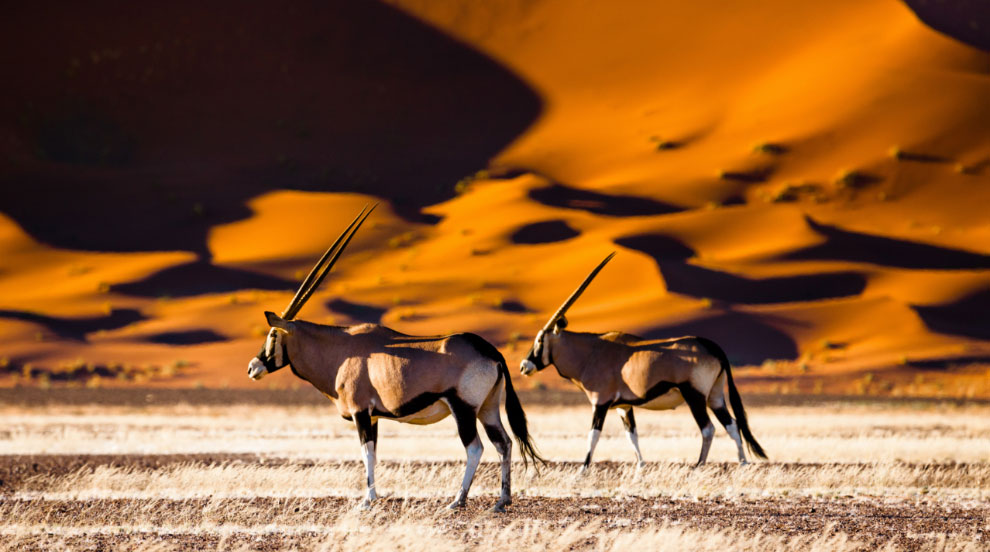 Gemsbok in the sunset