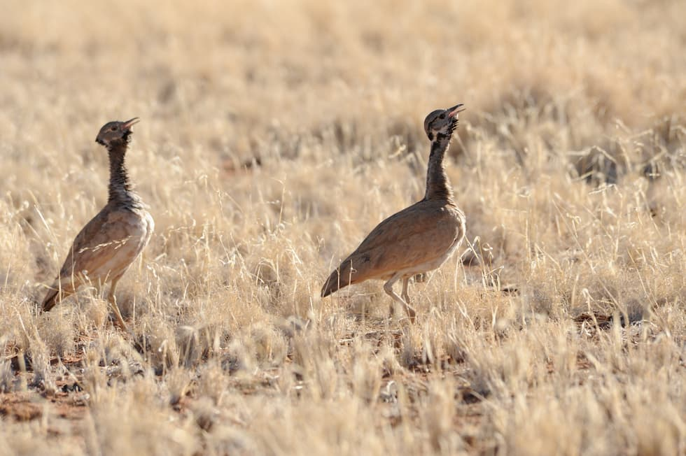 Two birds in the Namib