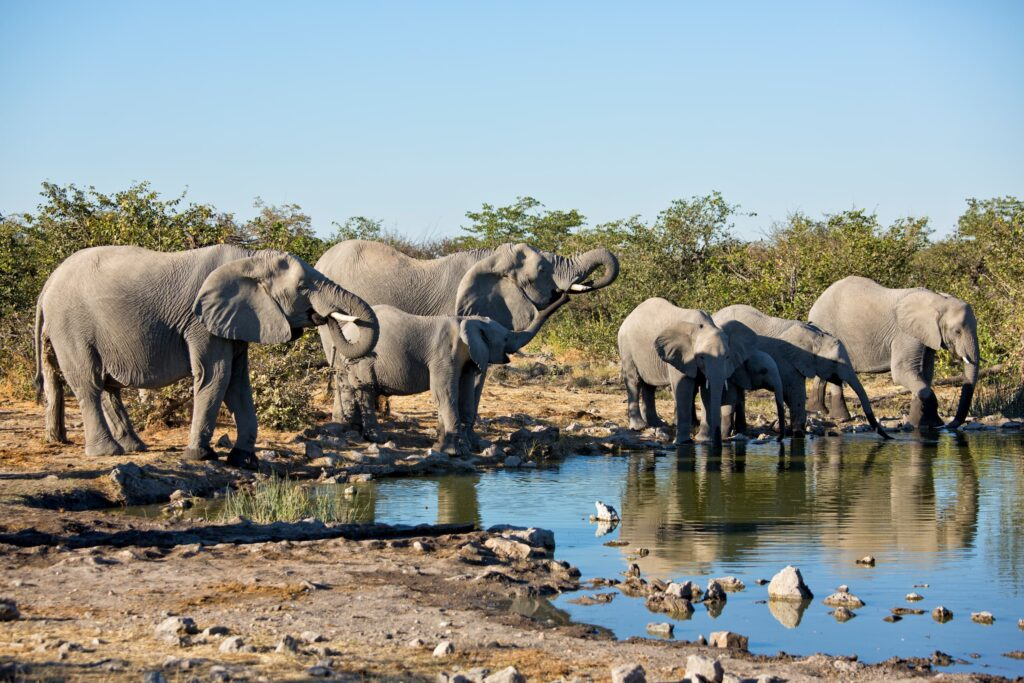 Elephants congregate at a waterhole at Etosha Heights