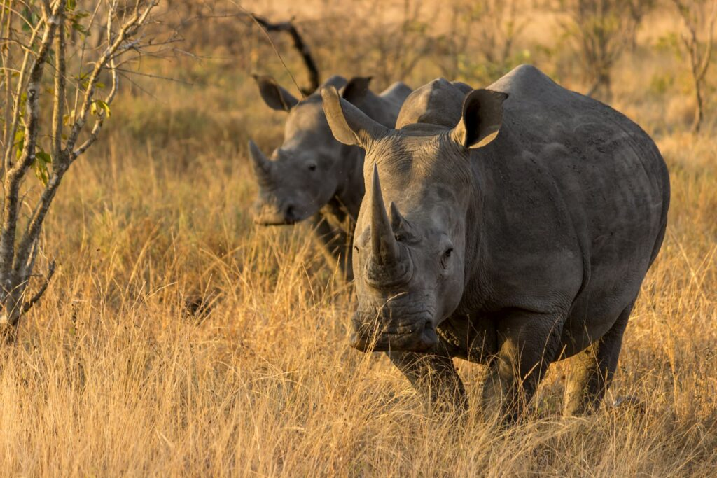 White Rhinos in Africa